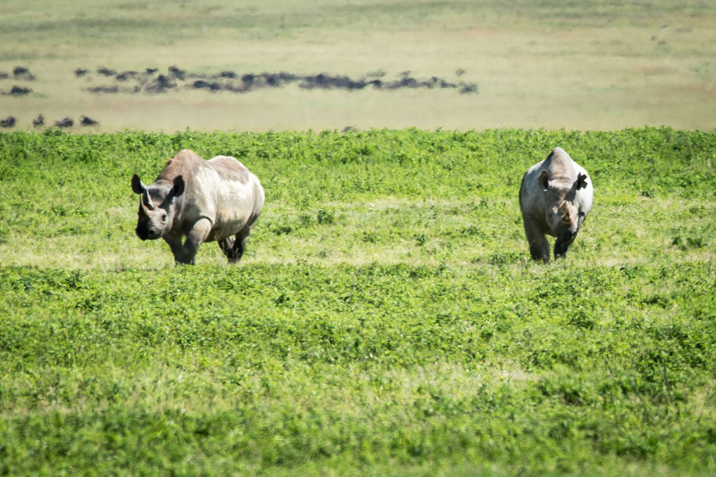 Two rhinos in the Ngorongoro Crater