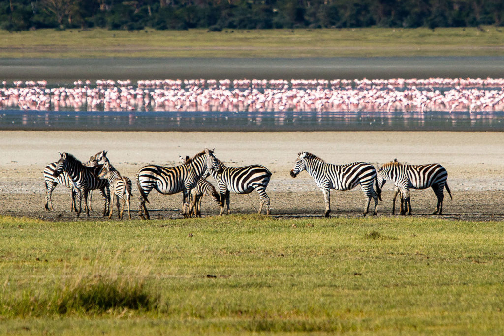 Flamingoes and zebra at Lake Manyara