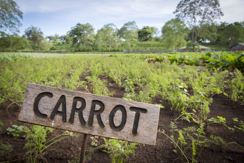 Gibb's Farm organically grown carrots
