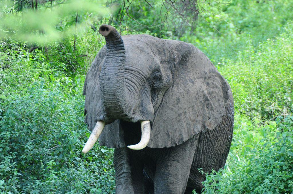 Gibbs Farm - Ngorongoro Elephants in Tanzania